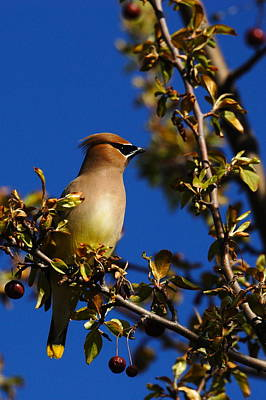 Marvelous Marble Rights Managed Images - Cedar Waxwing Royalty-Free Image by Charley Starnes