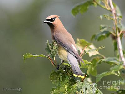 Photograph - Cedar Waxwing by J McCombie