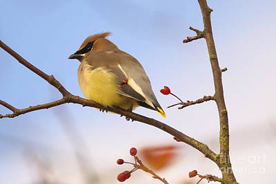 Photograph - Cedar Waxwing  by Sharon Talson
