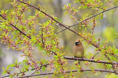 Cedar Waxwing Art Print by Terry DeLuco