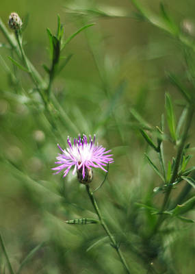 Photograph - Centaurea Maculosa Spotted Knapweed by Rebecca Sherman