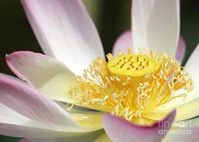 Lotus Flower Photograph - Center Of A Lotus by Sabrina L Ryan