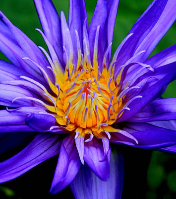 Photograph - Center Of The Lily by Steve McKinzie