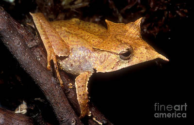 Central American Frogs Photograph - Central American Casque Headed Frog by Dante Fenolio