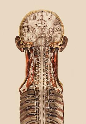 Central Nervous System Anatomy Art Print