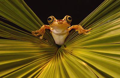 Chachi Tree Frog Hyla Picturata, Choco Art Print