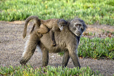 Chacma Baboon Mother And Young Art Print by Peter Chadwick