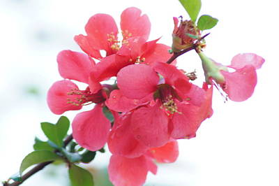 Photograph - Chaenomeles by Bj Hodges
