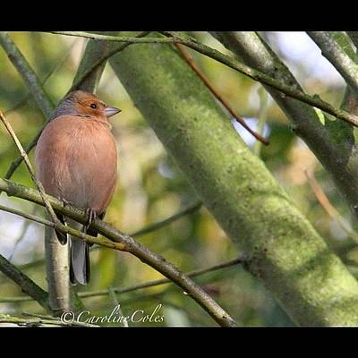 Ornithology Photograph - Chaffinch From My Kitchen Window by Caroline Coles