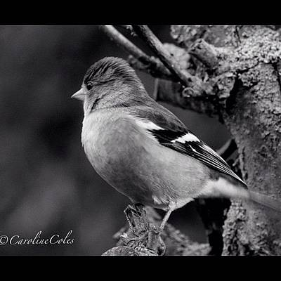 Ornithology Photograph - Chaffinch Study #chaffinch #garden by Caroline Coles