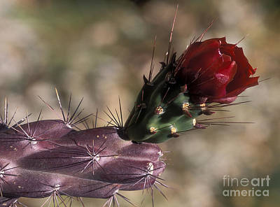 Photograph - Chain Cholla Cactus Bloom by Sandra Bronstein