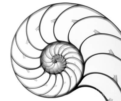 Photograph - Chambered Nautilus by Ted Kinsman