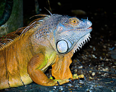 Photograph - Chameleon by Chua  ChinLeng