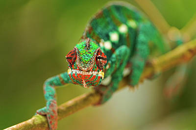 Chameleon Art Print by Picture by Tambako the Jaguar