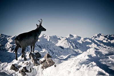 Y120817 Photograph - Chamois Watching Over Austria by RICOWde
