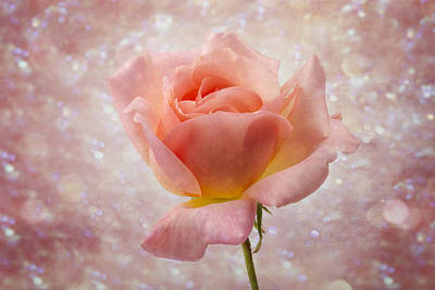 Photograph - Champagne Rose. by Clare Bambers