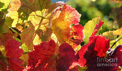 Grapeleaves Photograph - Changing Colors by Melanie Rainey