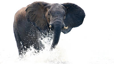 Photograph - Charging Elephant by Mareko Marciniak