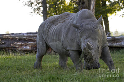 Photograph - Charging Rhino. by Clare Bambers