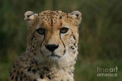 Charlie The Cheeta Art Print by Carol Wright