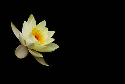 Yellow Lily Photograph - Charmer by Rebecca Cozart