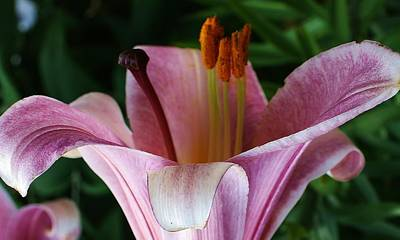 Charming Lily Print by Bruce Bley
