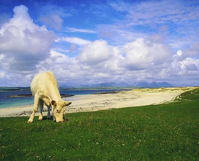 Remoteness Photograph - Charolais Cow, Mannin Bay, Co Galway by The Irish Image Collection