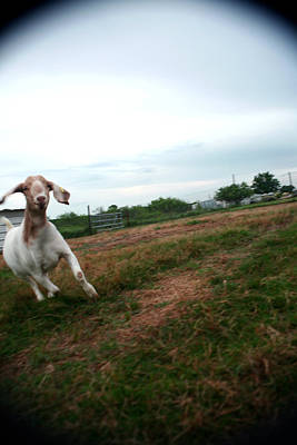 Art Print featuring the photograph Chased By A Crazy Goat by Lon Casler Bixby
