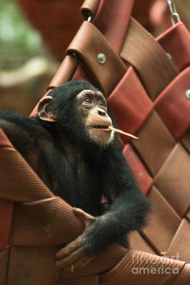 Monkey Photograph - Cheeky Chimp by Andrew  Michael