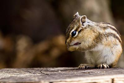 Photograph - Cheeky Chipmunk by Justin Albrecht