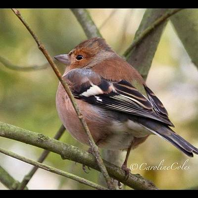 Ornithology Photograph - Cheerful Chaffinch All Fluffed Up by Caroline Coles