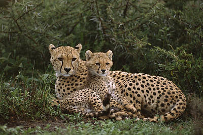 Photograph - Cheetah 5 Month Old Cub Snuggled by Suzi Eszterhas