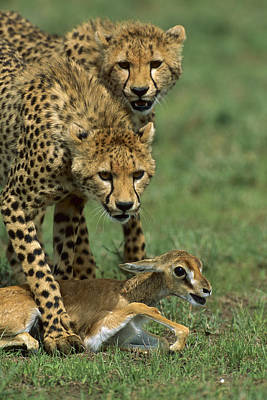 Photograph - Cheetah 8 Month Old Cub Learning by Suzi Eszterhas