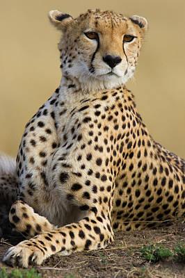 Cheetah Acinonyx Jubatus Adult Female Art Print