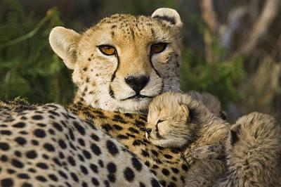 Cheetah Acinonyx Jubatus And Cub Art Print