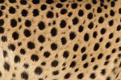 Cheetah Acinonyx Jubatus Close-up Art Print