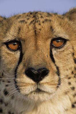 Cheetah Acinonyx Jubatus Close Art Print