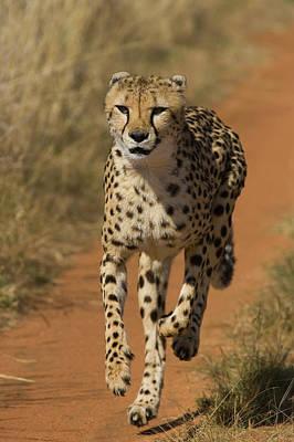 Cheetah Acinonyx Jubatus Rescued Art Print
