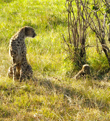 Photograph - Cheetah And Cub by Marie Morrisroe