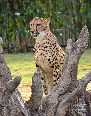Photograph - Cheetah by Carol  Bradley