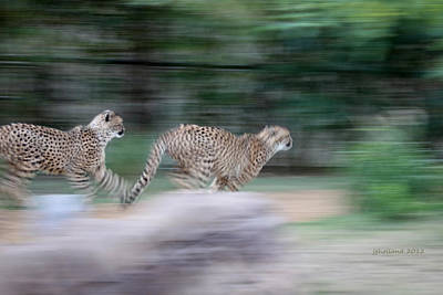 Cheetah Chase Original by Joseph G Holland