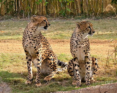 Photograph - Cheetah Chat 1 by Carol  Bradley