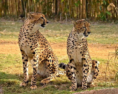 Photograph - Cheetah Chat 3 by Carol  Bradley