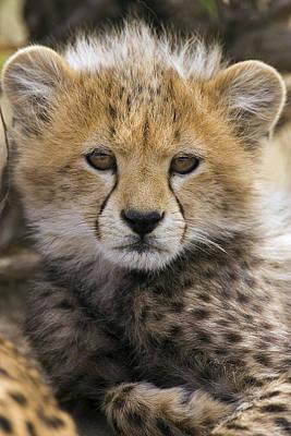 Photograph - Cheetah Cub Acinonyx Jubatus  by Suzi Eszterhas