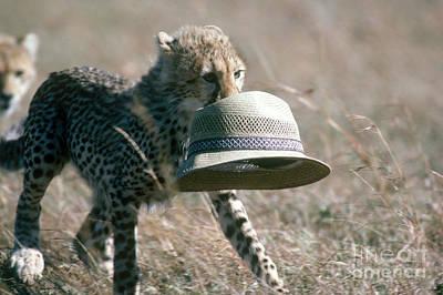 Photograph - Cheetah Cub Carrying Hat by Gregory G Dimijian
