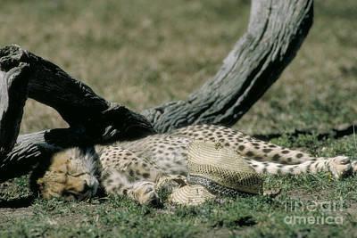 Cheetah Cub Sleeping And Guarding Hat Art Print by Greg Dimijian