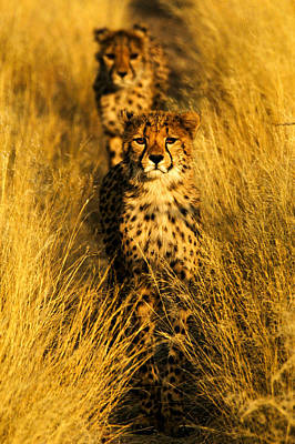 Photograph - Cheetah Cubs by Alistair Lyne