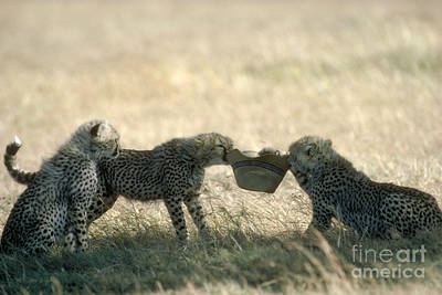 Cheetah Cubs Play With Hat Art Print by Greg Dimijian