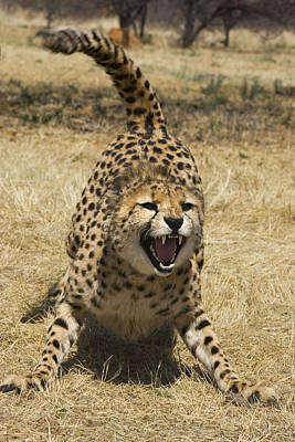 Cheetah Hissing Art Print
