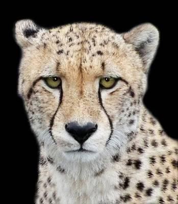 Art Print featuring the photograph Cheetah by Lynn Bolt